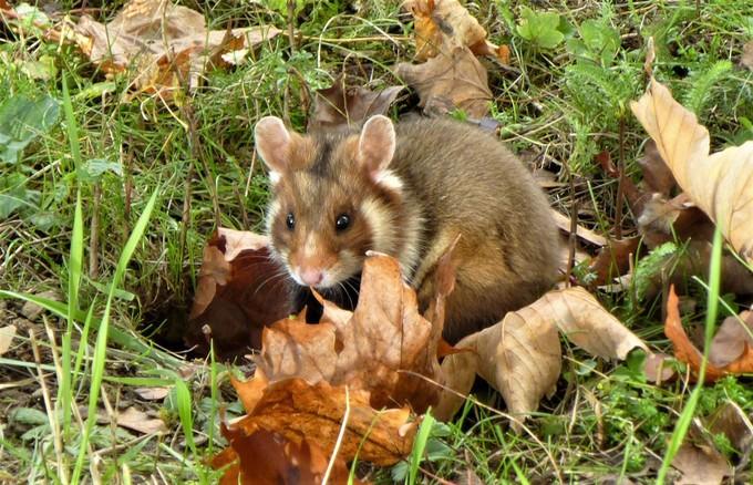 Qui veut la peau du hamster de Strasbourg